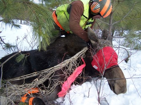 Oregon Moose Captures